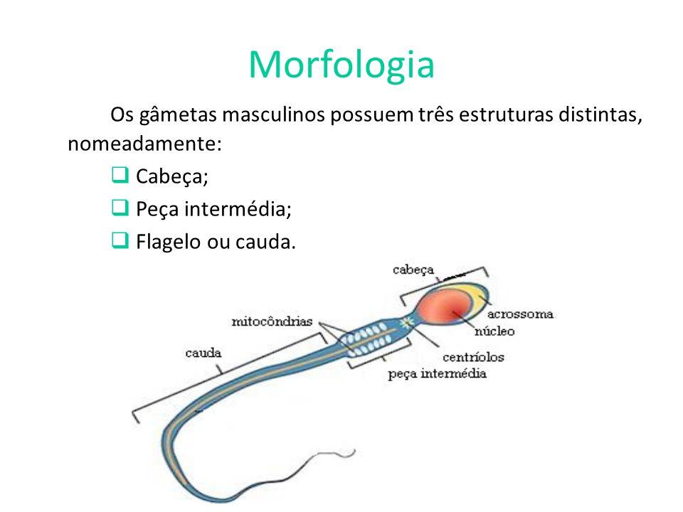 Morfologia Os gâmetas masculinos possuem três estruturas distintas, nomeadamente: Cabeça; Peça intermédia;