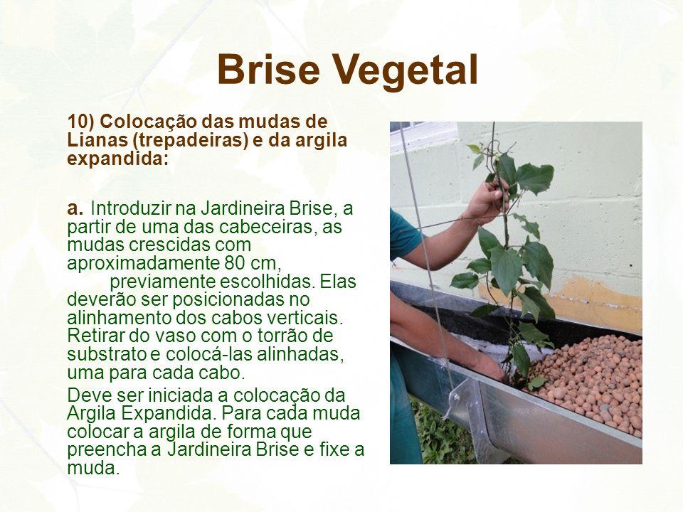 Brise Vegetal 10) Colocação das mudas de Lianas (trepadeiras) e da argila expandida: