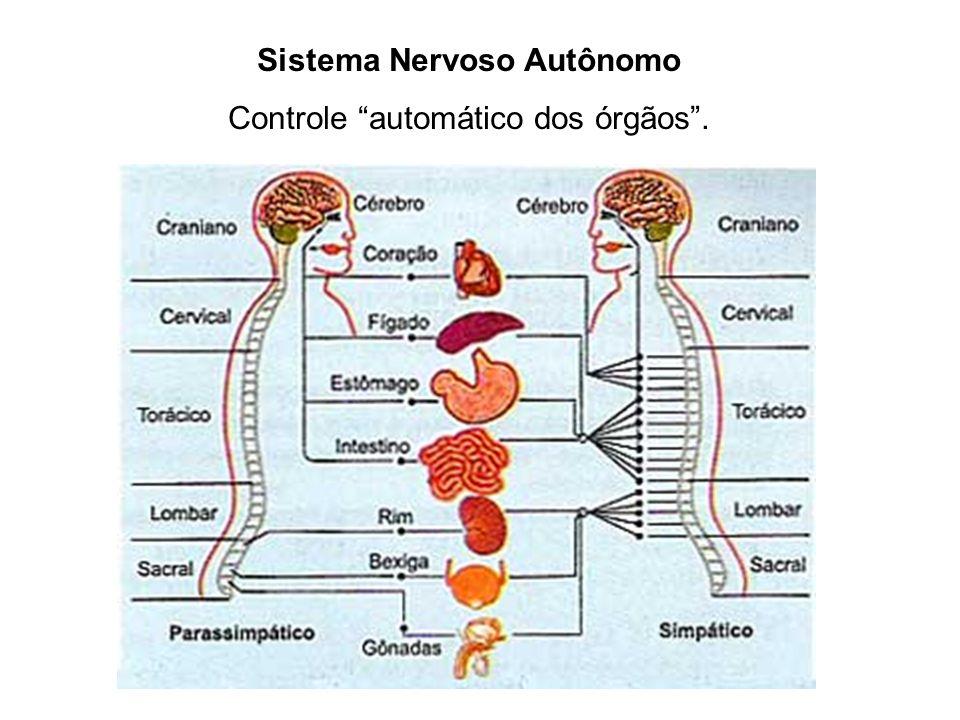 Sistema Nervoso Autônomo Controle automático dos órgãos .
