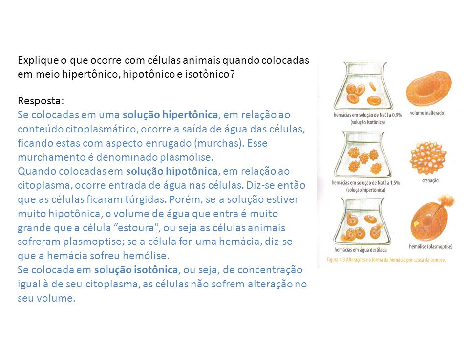 Explique o que ocorre com células animais quando colocadas em meio hipertônico, hipotônico e isotônico