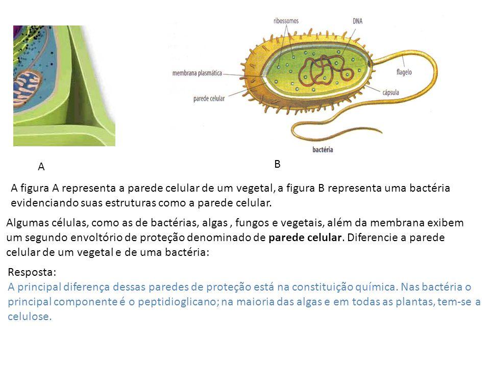A B. A figura A representa a parede celular de um vegetal, a figura B representa uma bactéria evidenciando suas estruturas como a parede celular.