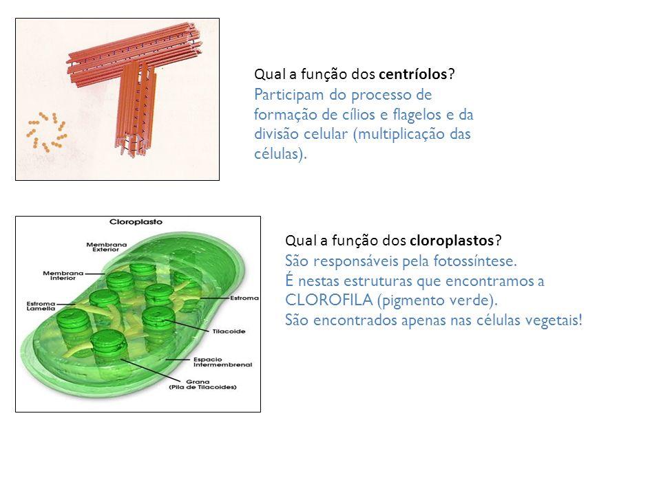 Qual a função dos centríolos
