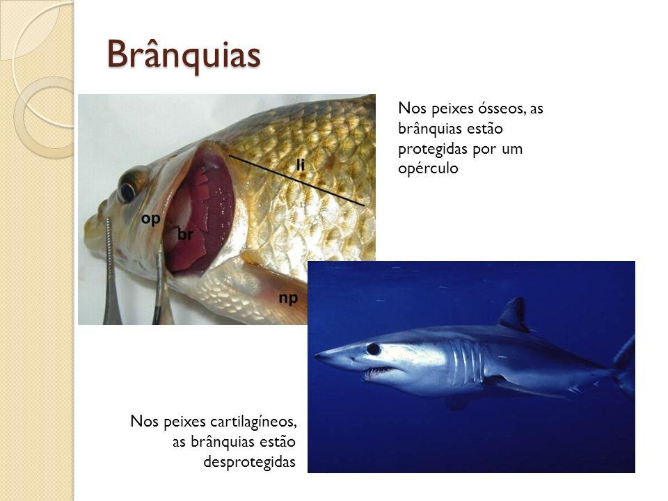 Brânquias Nos peixes ósseos, as brânquias estão protegidas por um opérculo.