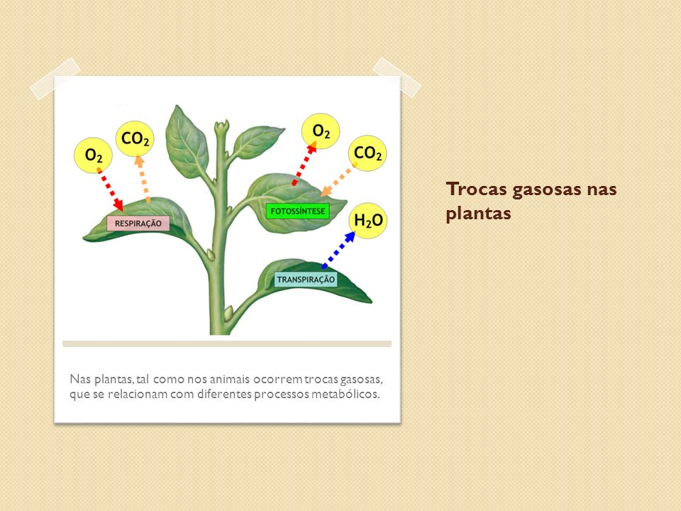 Trocas gasosas nas plantas