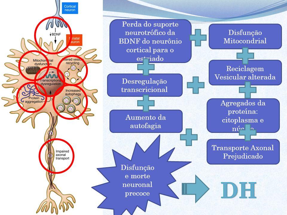 Perda do suporte neurotrófico da BDNF do neurônio cortical para o estriado