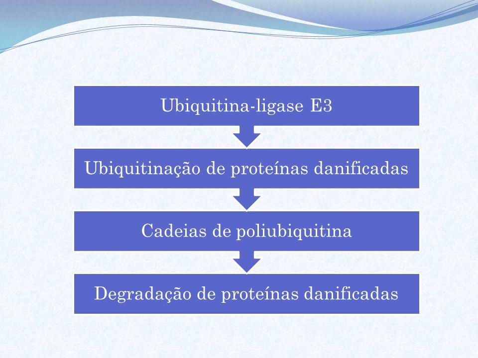 Ubiquitinação de proteínas danificadas Cadeias de poliubiquitina