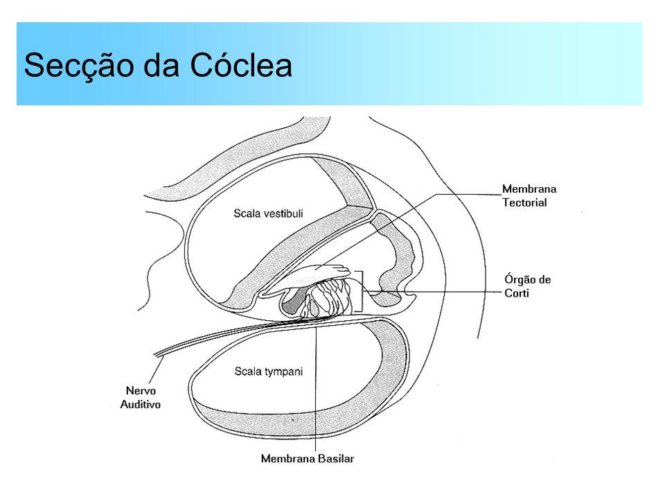 Secção da Cóclea