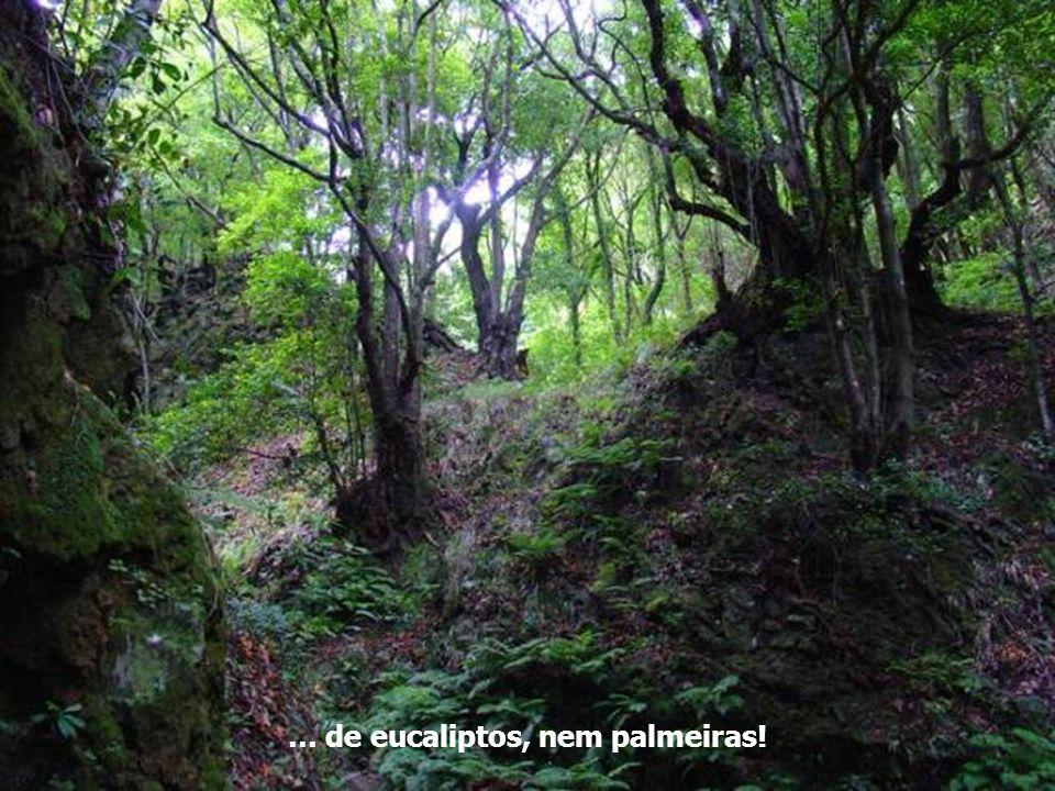 … de eucaliptos, nem palmeiras!