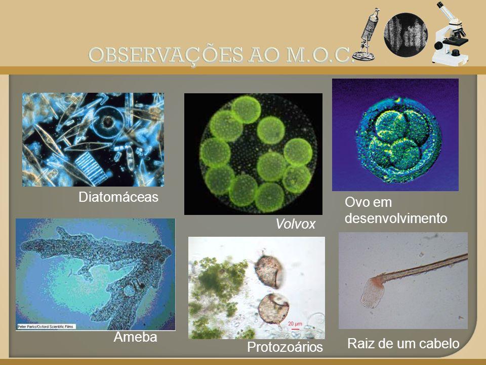 OBSERVAÇÕES AO M.O.C. Diatomáceas Ovo em desenvolvimento Volvox Ameba