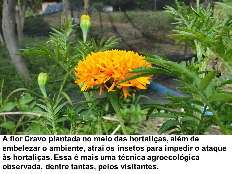 A flor Cravo plantada no meio das hortaliças, além de embelezar o ambiente, atrai os insetos para impedir o ataque às hortaliças.