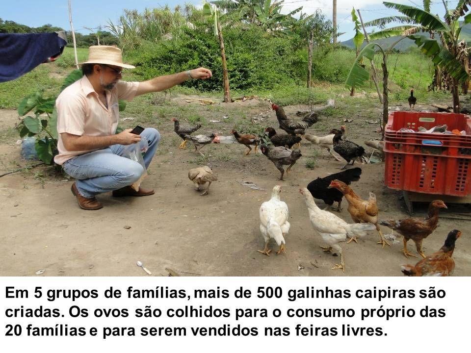 Em 5 grupos de famílias, mais de 500 galinhas caipiras são criadas