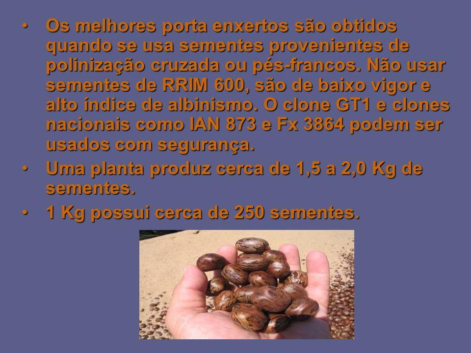 Os melhores porta enxertos são obtidos quando se usa sementes provenientes de polinização cruzada ou pés-francos. Não usar sementes de RRIM 600, são de baixo vigor e alto índice de albinismo. O clone GT1 e clones nacionais como IAN 873 e Fx 3864 podem ser usados com segurança.