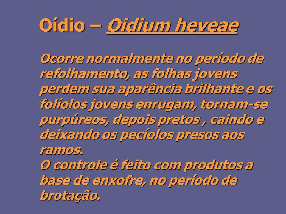 Oídio – Oidium heveae