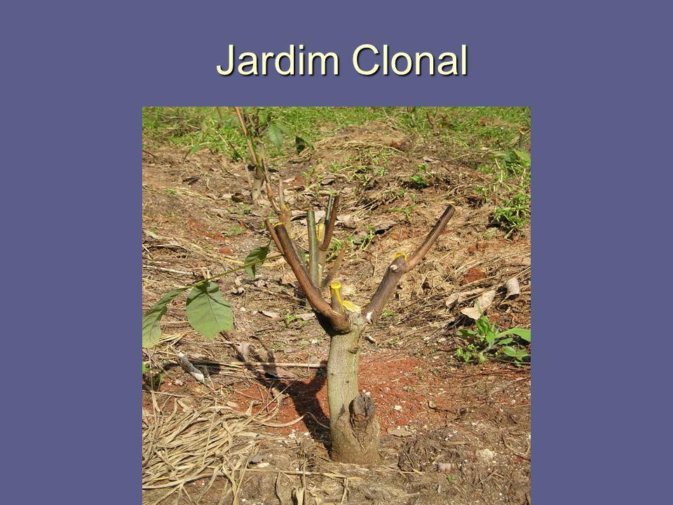 Jardim Clonal