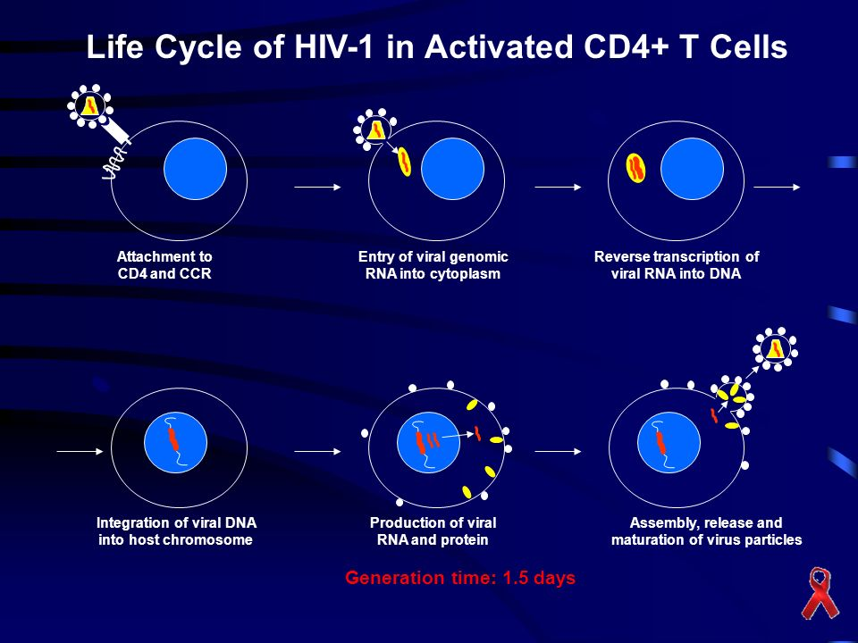 Life Cycle of HIV-1 in Activated CD4+ T Cells