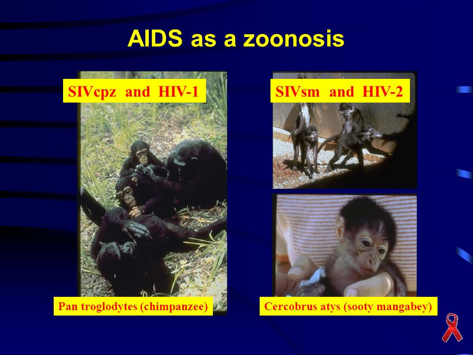 AIDS as a zoonosis SIVcpz and HIV-1 SIVsm and HIV-2