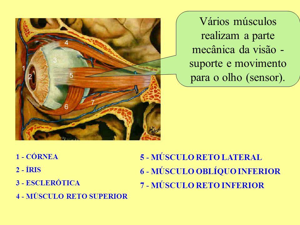 Vários músculos realizam a parte mecânica da visão - suporte e movimento para o olho (sensor).
