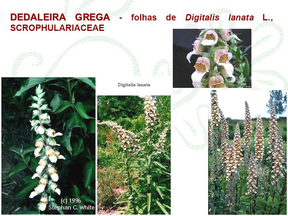 DEDALEIRA GREGA - folhas de Digitalis lanata L., SCROPHULARIACEAE