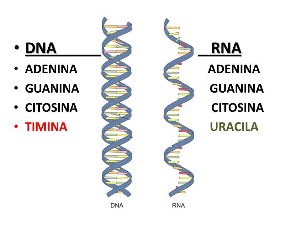 DNA RNA ADENINA ADENINA GUANINA GUANINA CITOSINA CITOSINA