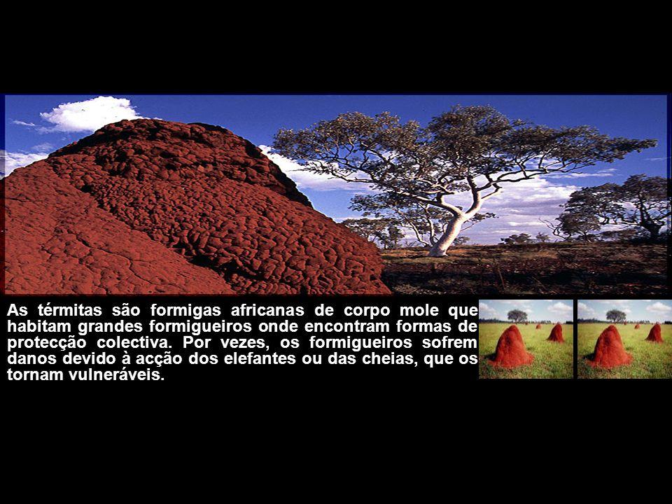 As térmitas são formigas africanas de corpo mole que habitam grandes formigueiros onde encontram formas de protecção colectiva.