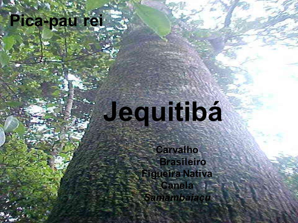 Jequitibá Pica-pau rei Carvalho Brasileiro Figueira Nativa Canela