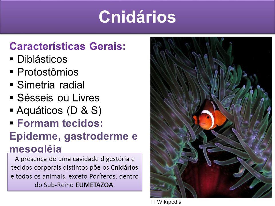 Cnidários Características Gerais: Diblásticos Protostômios