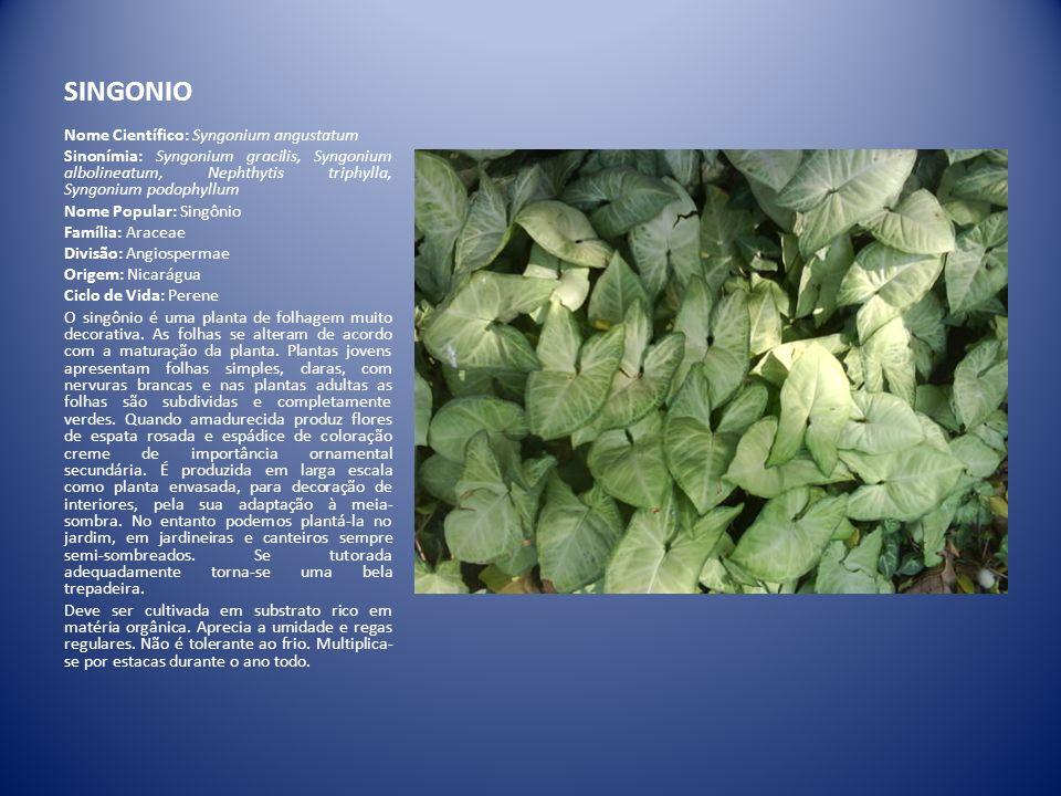 SINGONIO Nome Científico: Syngonium angustatum