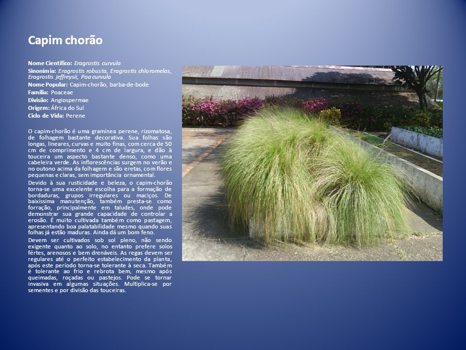 Capim chorão Nome Científico: Eragrostis curvula