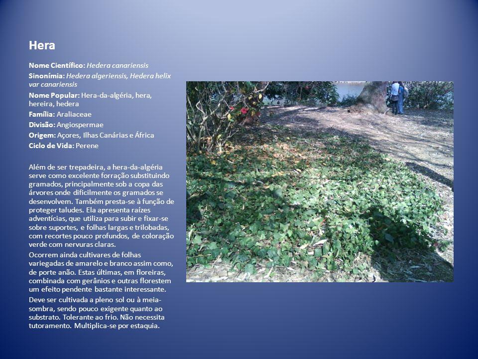 Hera Nome Científico: Hedera canariensis