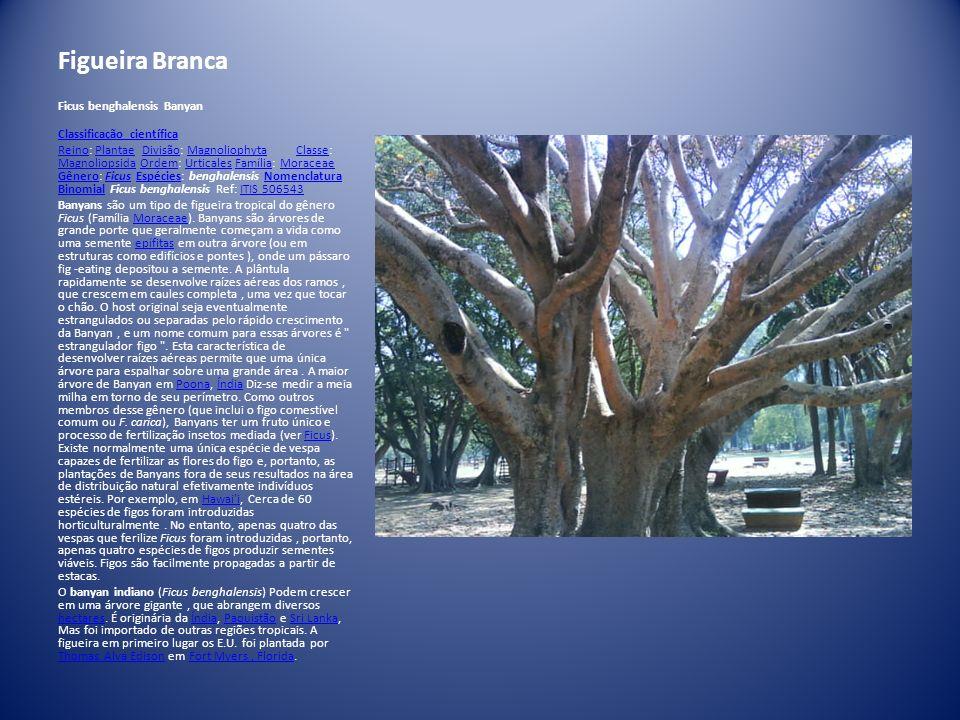 Figueira Branca Ficus benghalensis Banyan Classificação científica