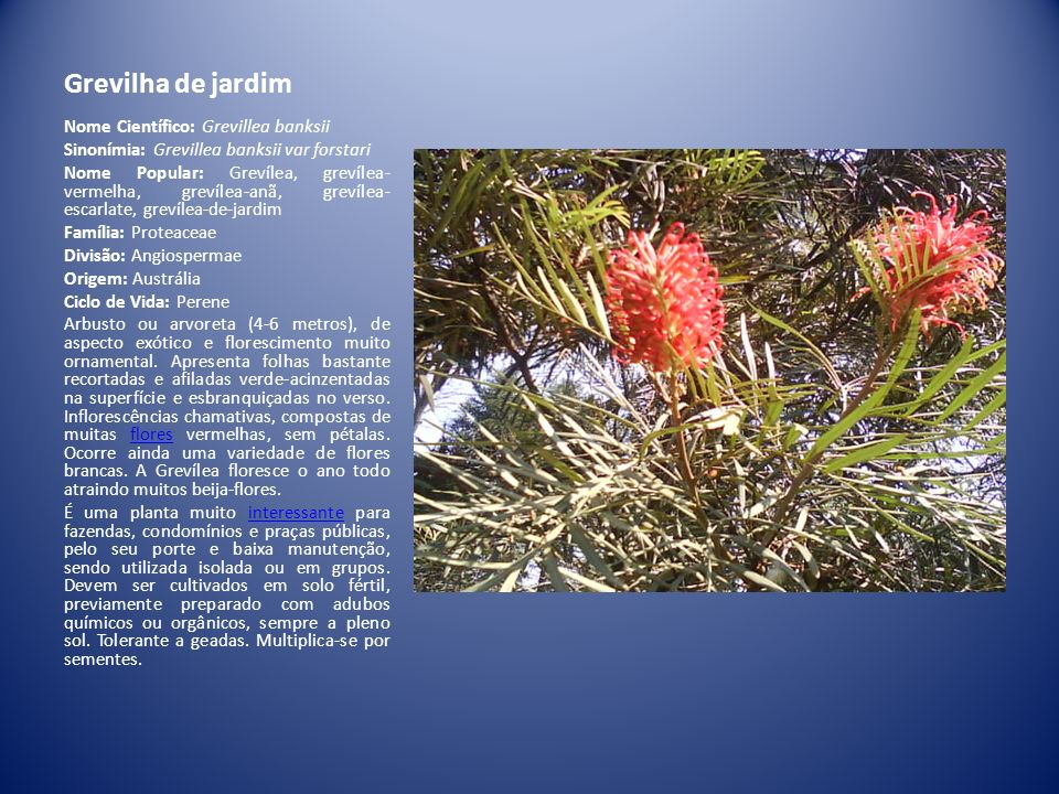 Grevilha de jardim Nome Científico: Grevillea banksii