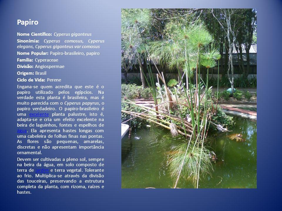 Papiro Nome Científico: Cyperus giganteus