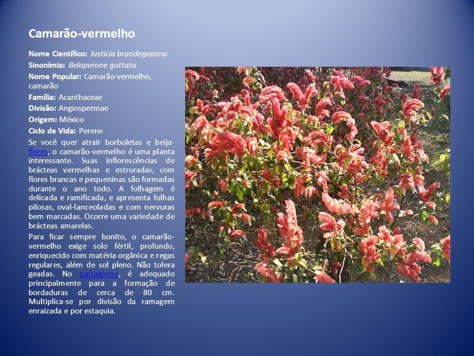 Camarão-vermelho Nome Científico: Justicia brandegeeana
