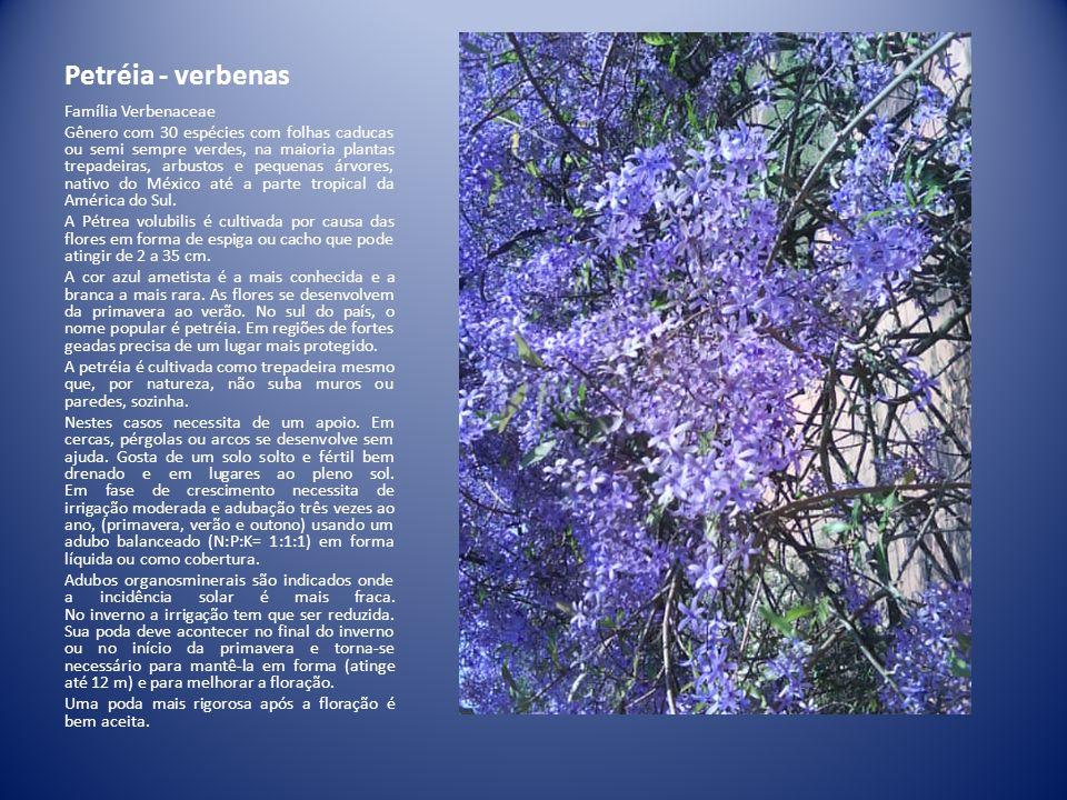Petréia - verbenas Família Verbenaceae