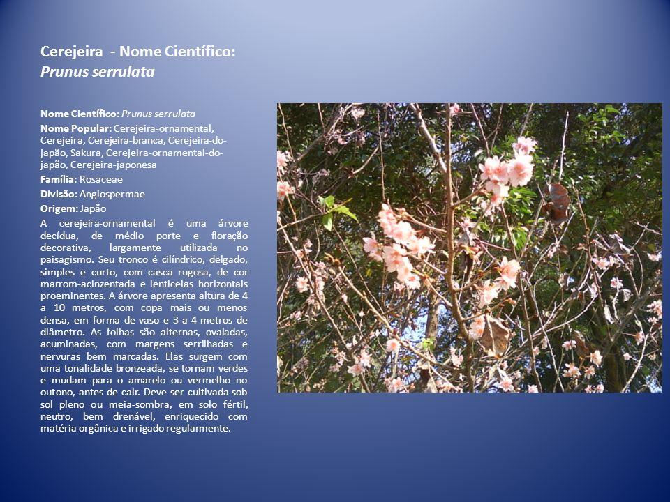 Cerejeira - Nome Científico: Prunus serrulata