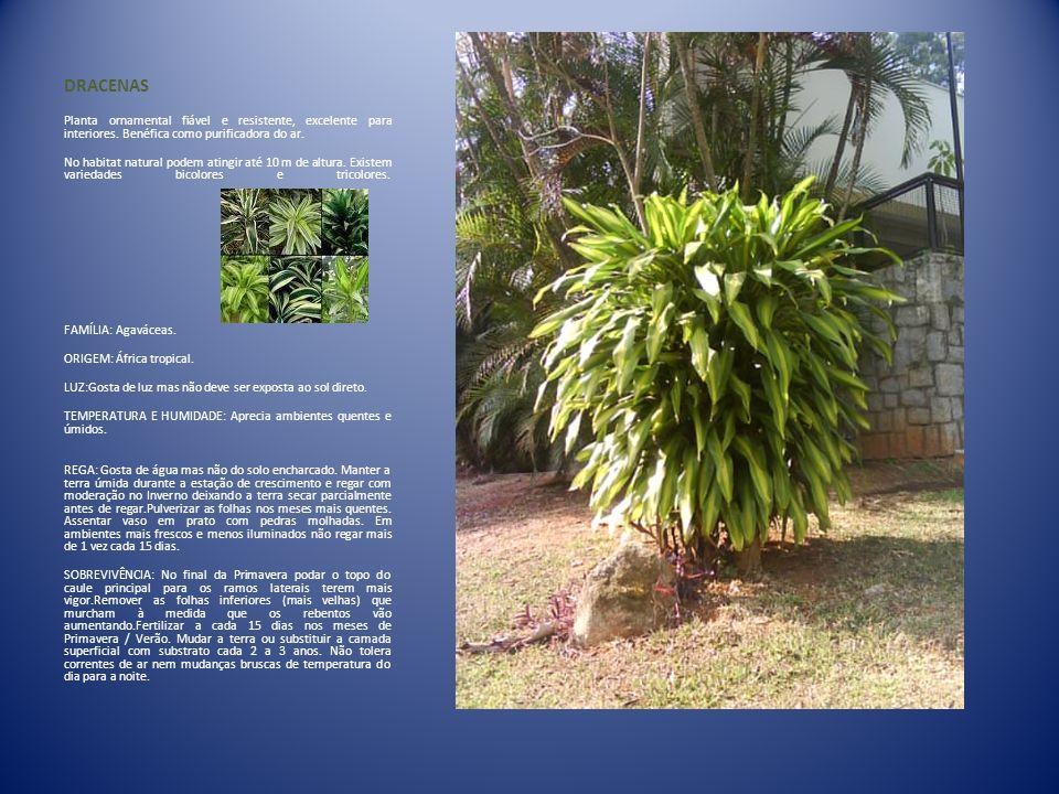 DRACENAS Planta ornamental fiável e resistente, excelente para interiores. Benéfica como purificadora do ar.