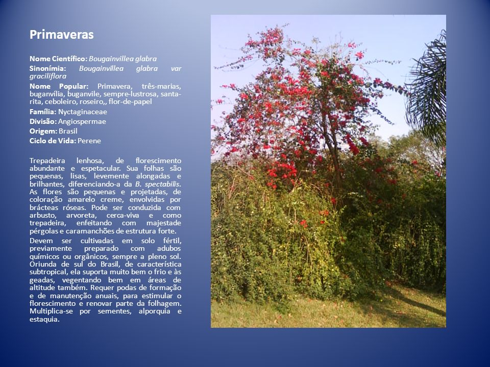 Primaveras Nome Científico: Bougainvillea glabra