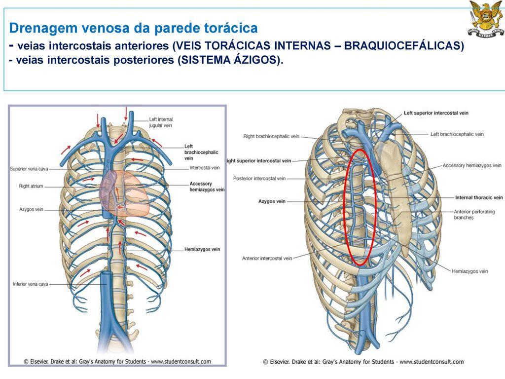 Perfecto Anatomía Venosa Torácica Festooning - Imágenes de Anatomía ...