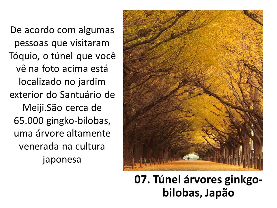 07. Túnel árvores ginkgo-bilobas, Japão