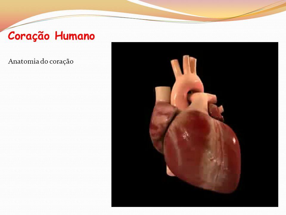 Coração Humano Anatomia do coração