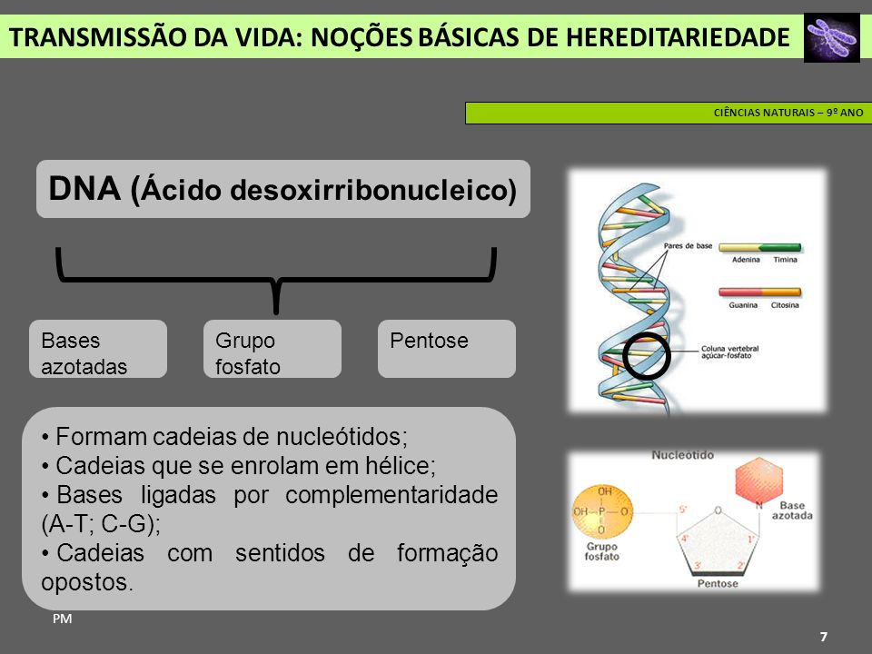 DNA (Ácido desoxirribonucleico)