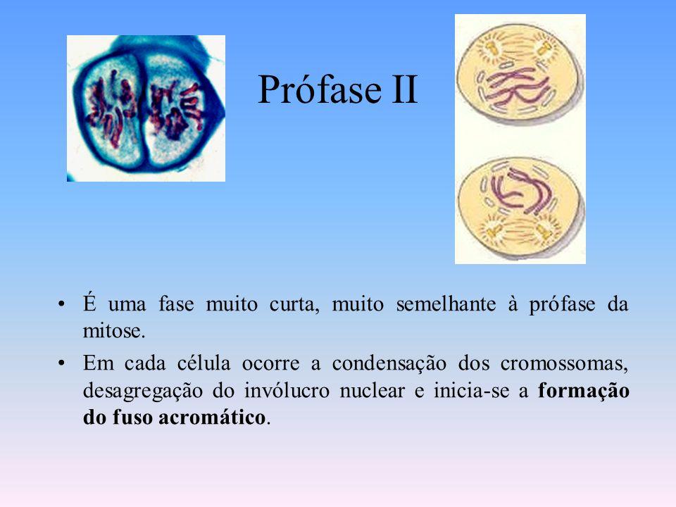 Prófase II É uma fase muito curta, muito semelhante à prófase da mitose.