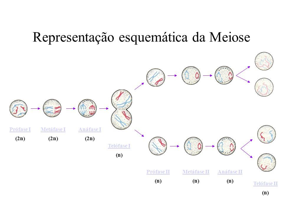 Representação esquemática da Meiose
