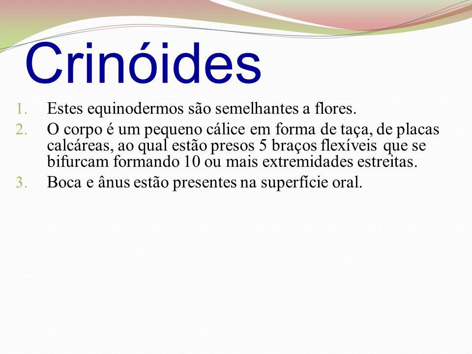 Crinóides Estes equinodermos são semelhantes a flores.