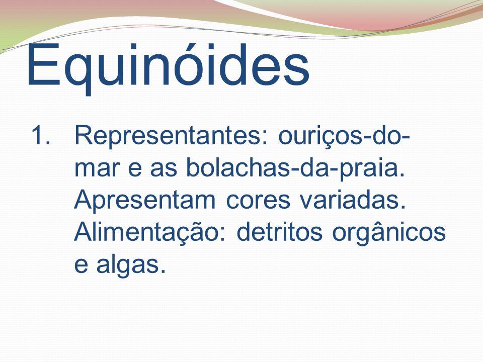 Equinóides Representantes: ouriços-do-mar e as bolachas-da-praia.