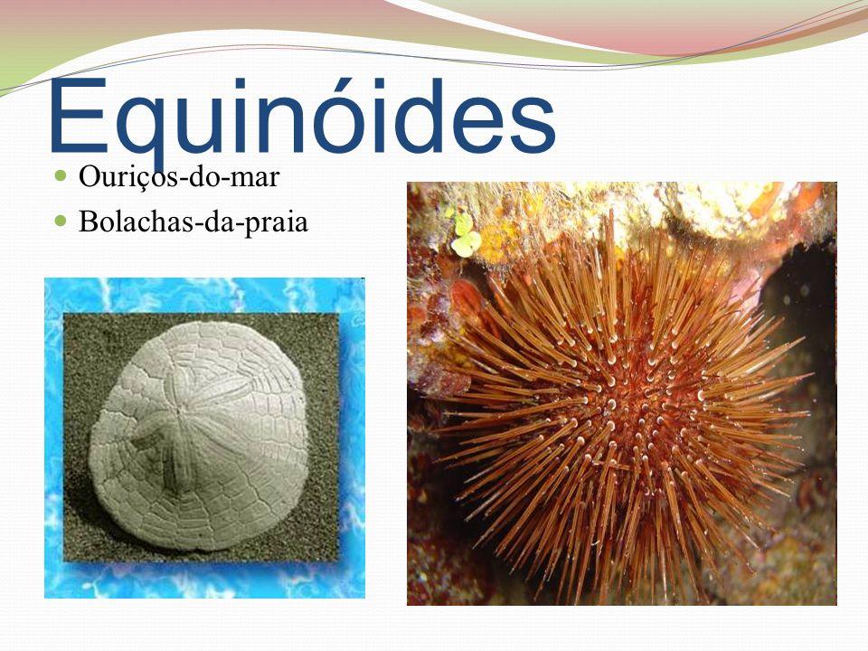Equinóides Ouriços-do-mar Bolachas-da-praia