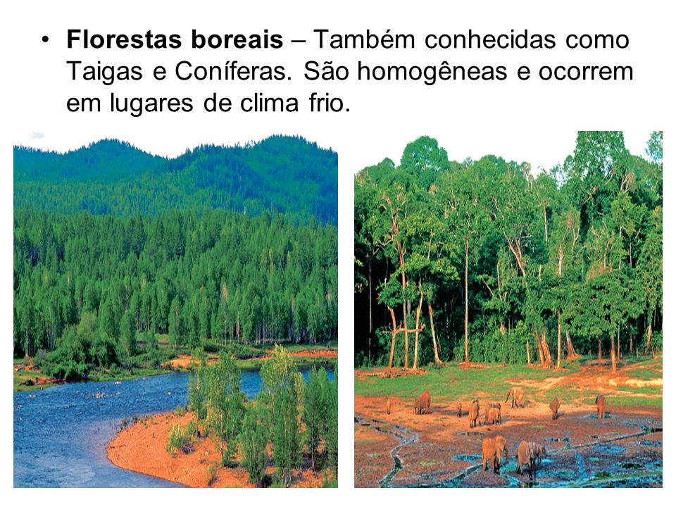 Florestas boreais – Também conhecidas como Taigas e Coníferas