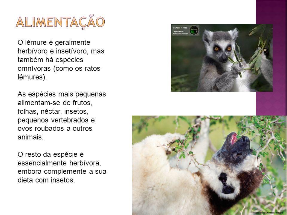 Alimentação O lémure é geralmente herbívoro e insetívoro, mas também há espécies omnívoras (como os ratos-lémures).