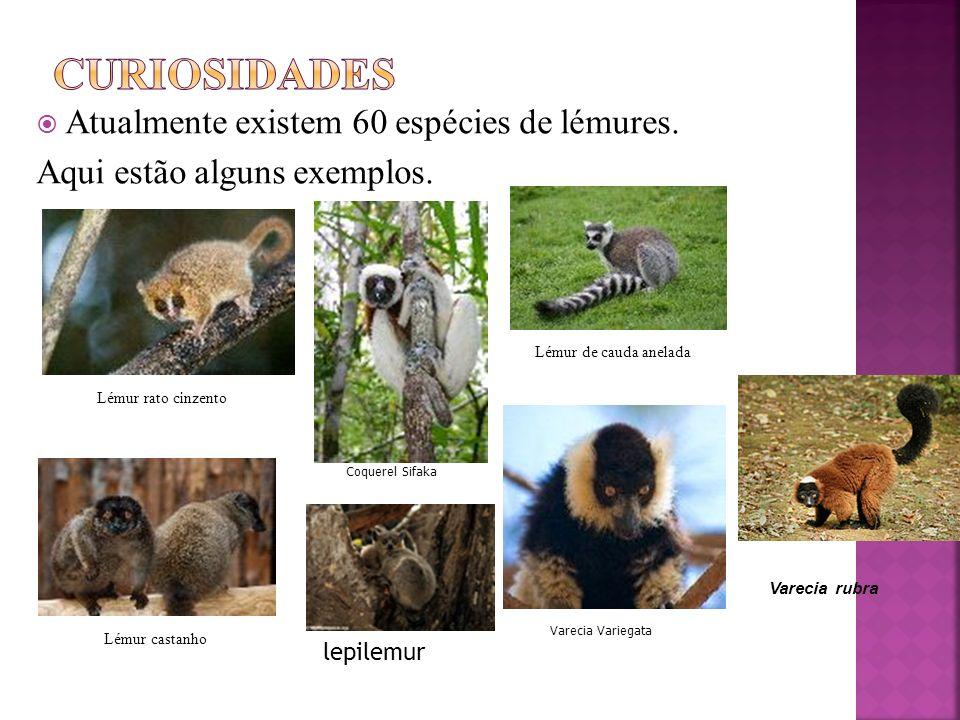 Curiosidades Atualmente existem 60 espécies de lémures.