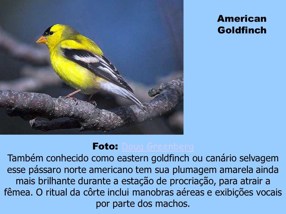 American Goldfinch Foto: Doug Greenberg.